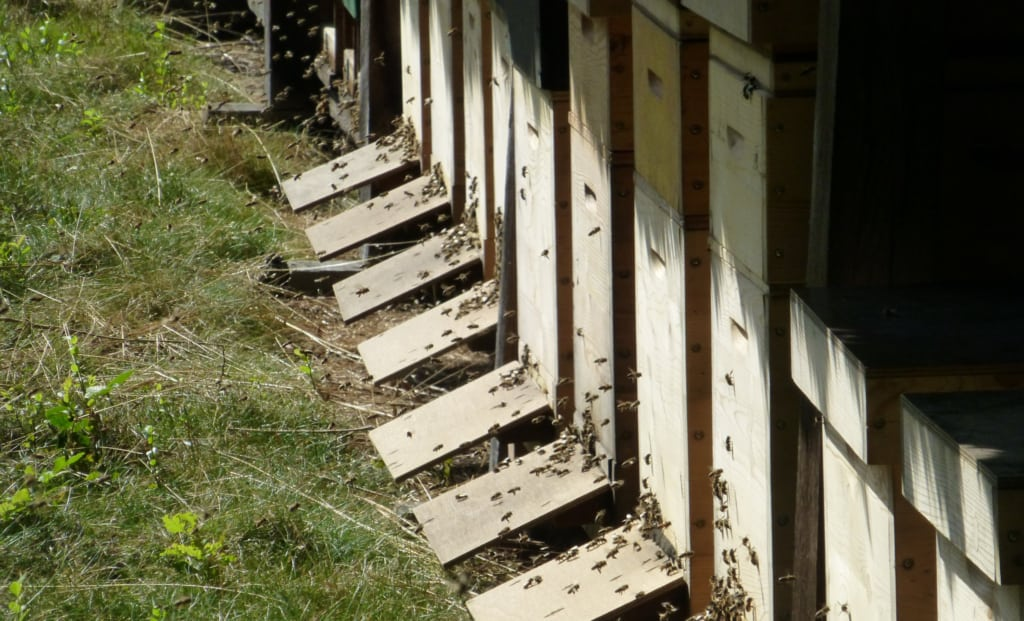 Bees flying into the bee boxes   VNP Stiftung