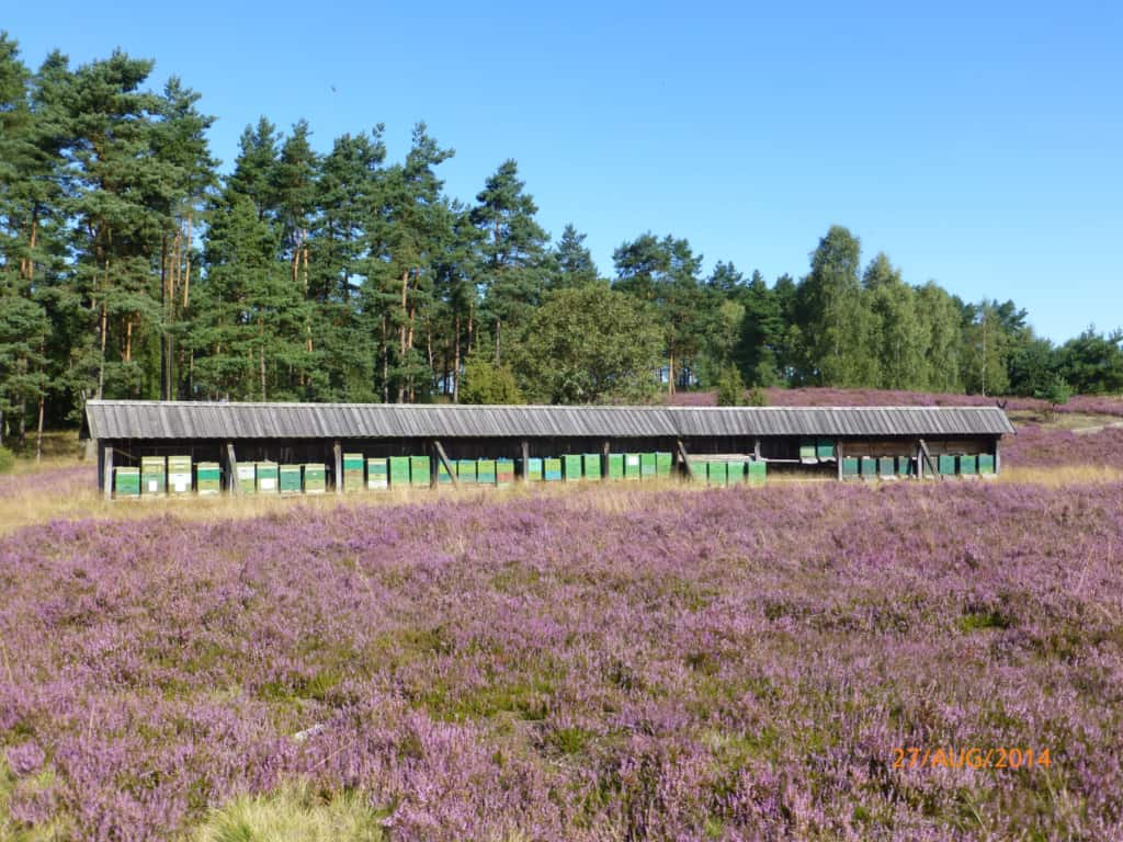 Bee enclosure with roof in wooden cover boarding at the time of heather blossoming   VNP Stiftung