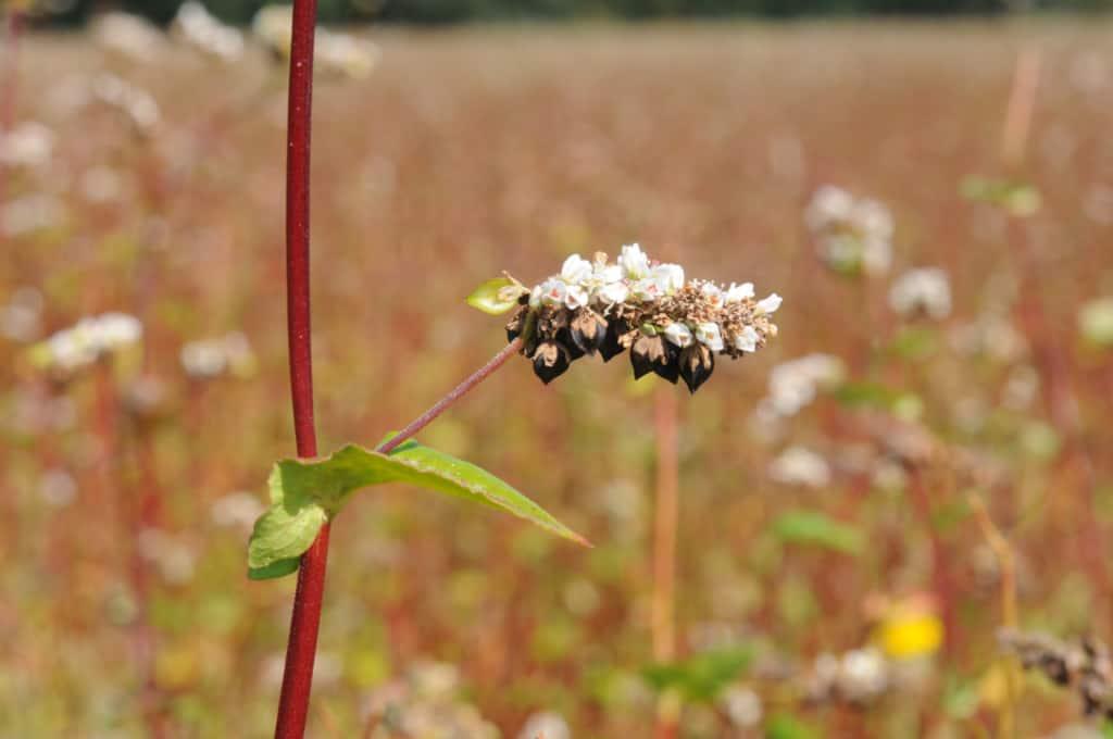 Buckwheat with fruits   Photo: U. Franzen