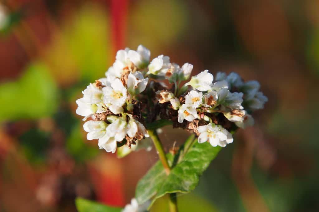 Buckwheat in bloom   VNP Stiftung