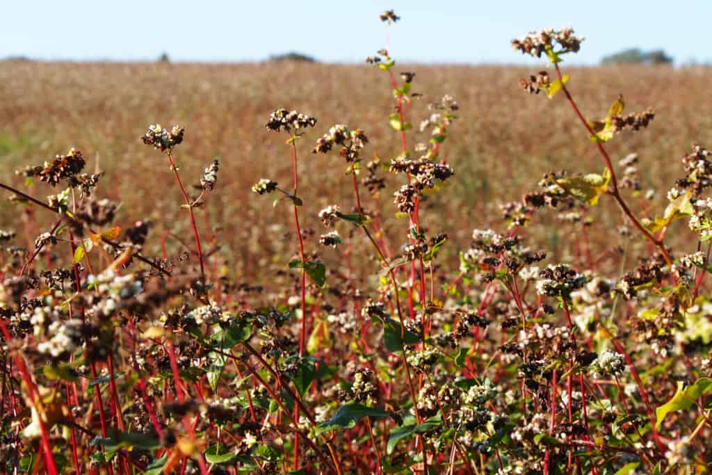 Buckwheat field at our farm Hof Tütsberg   VNP Stiftung