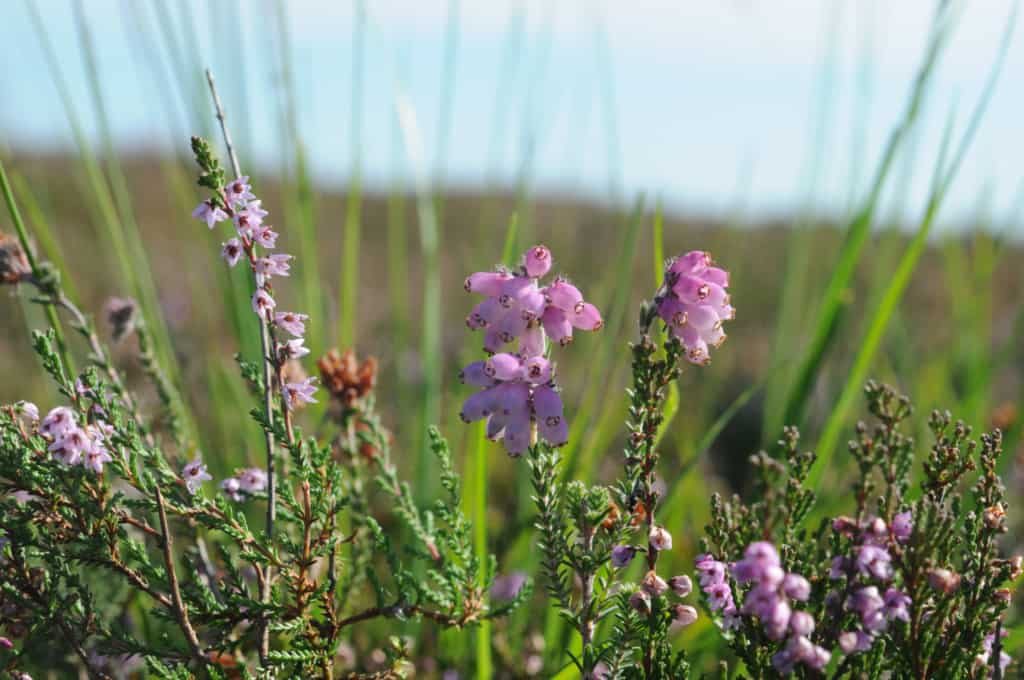 Heather blossoming with broom heather (Calluna vulgaris) on the left and cross-leaved heath (Erica tetralix) on the right | VNP Stiftung