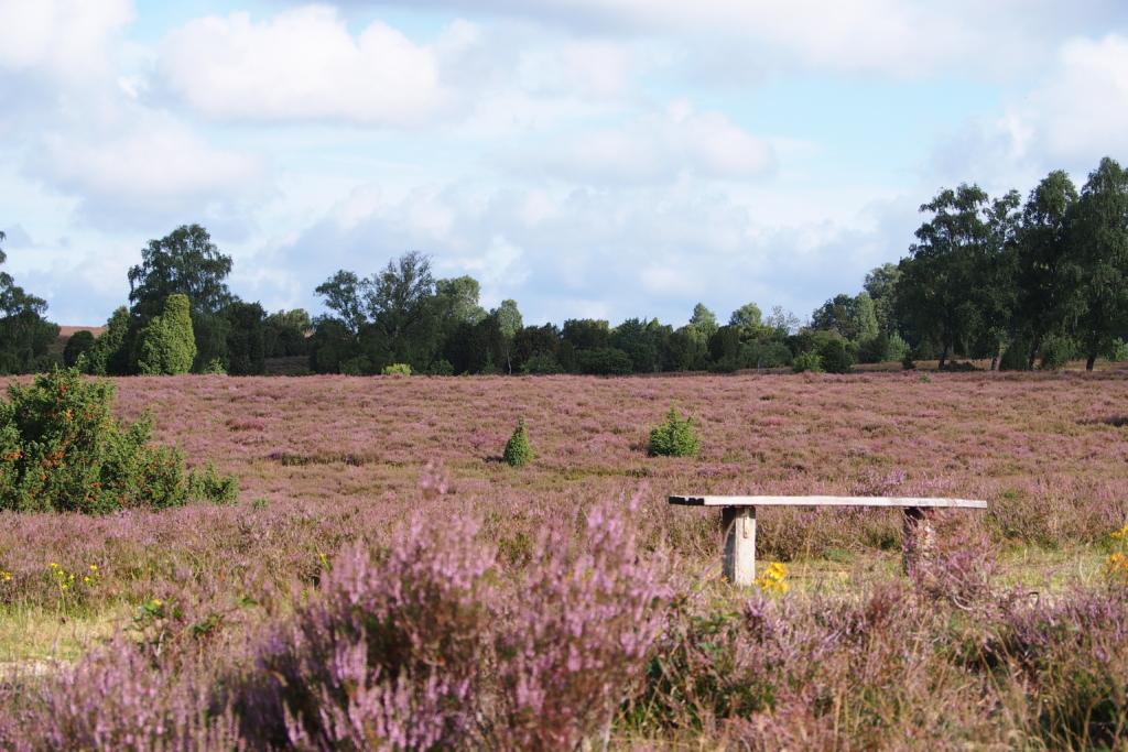 Heather blossoming: heather landscape with bench | Photo: VNP Stiftung Naturschutzpark Lüneburger Heide
