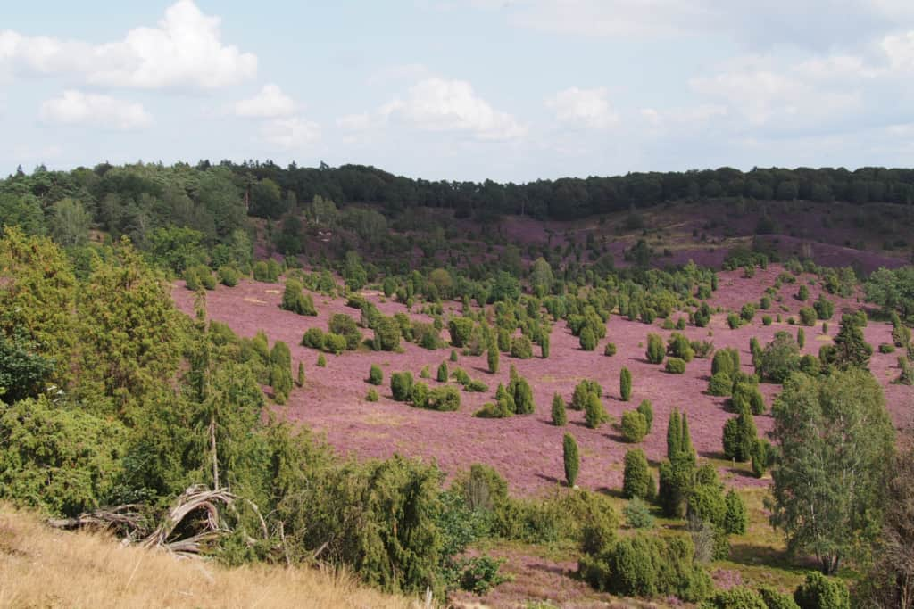 Heather blossoming in the Lueneburg Heath nature reserve   VNP Stiftung