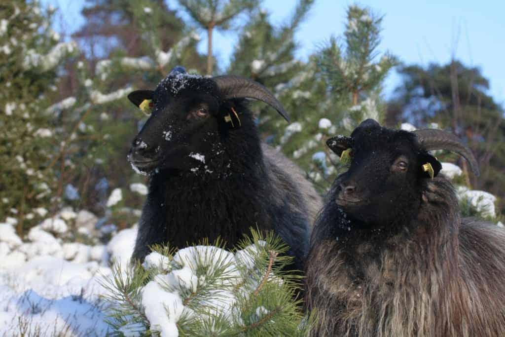 Heidschnucken in the snow-covered Totengrund   VNP Stiftung
