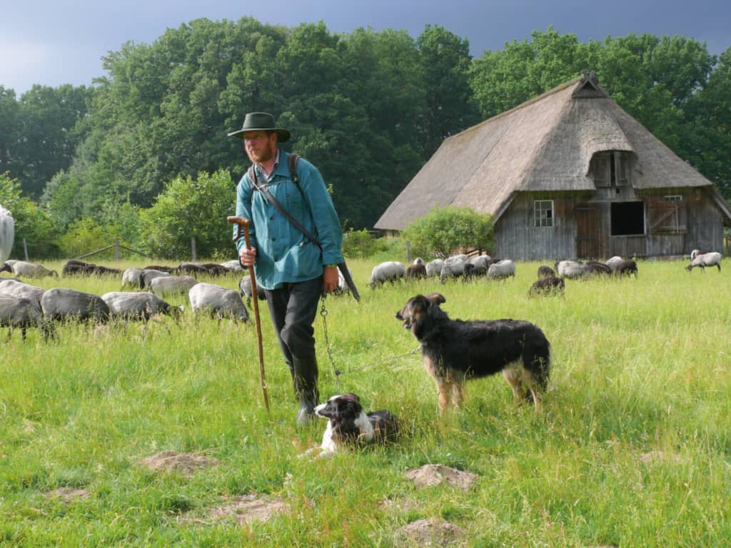 At the Hillmershof sheep shed: Heidschnucken shepherd Jürgen Funck with herding dogs and herd of Schnucken   VNP Stiftung