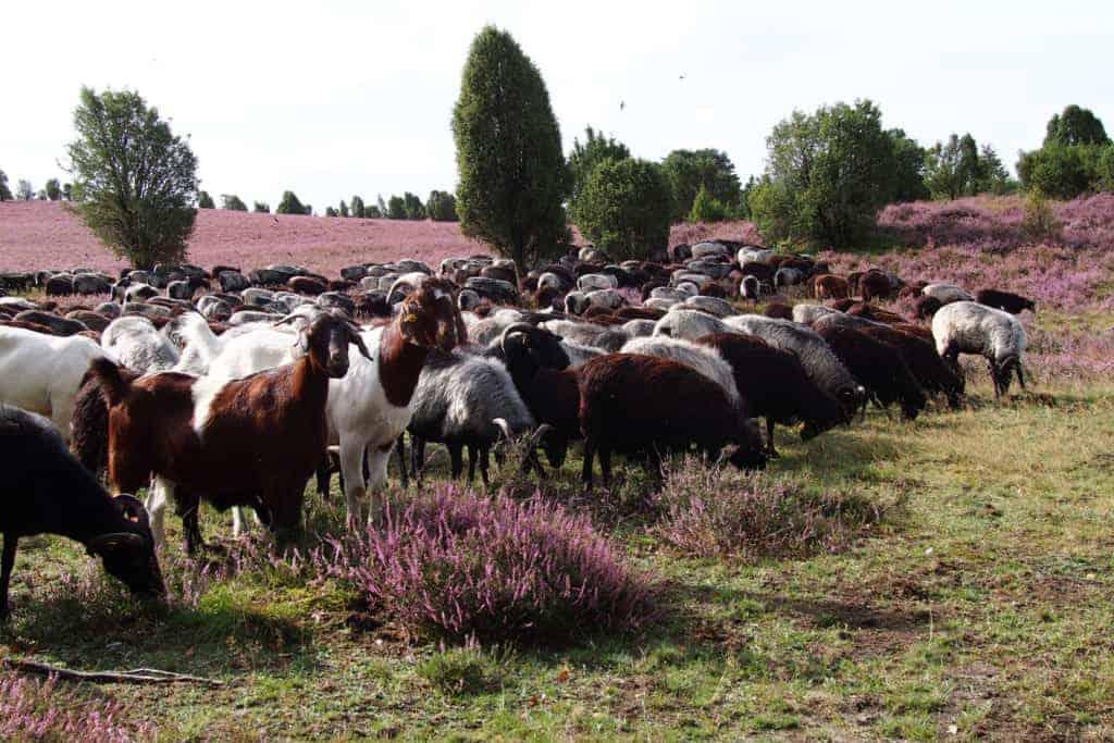 Flock of Heidschnucken in the blooming heather   VNP Stiftung