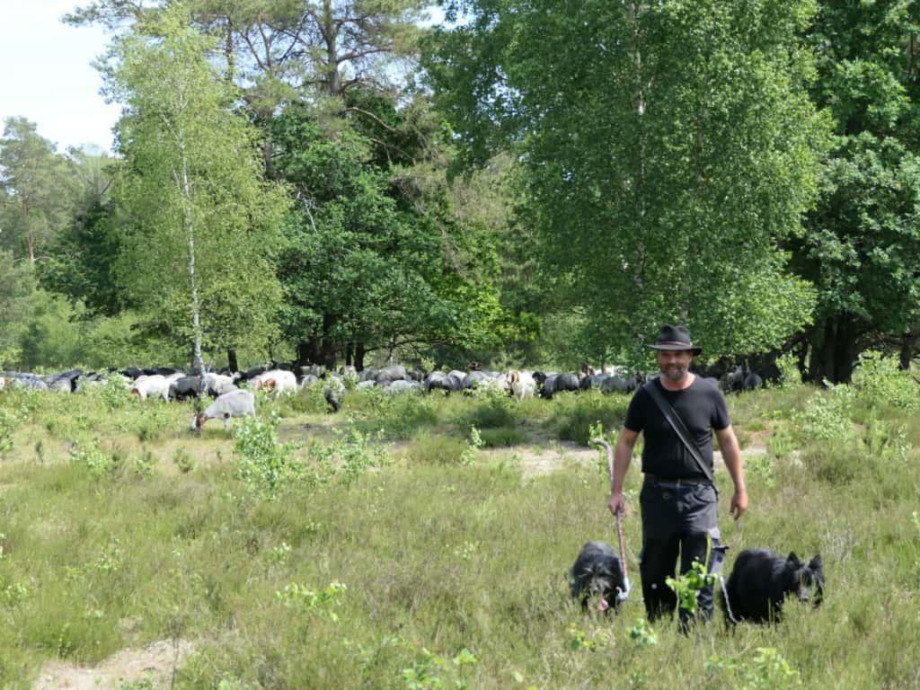 Grazing flock of Heidschnucken with shepherd and herding dogs   VNP Stiftung