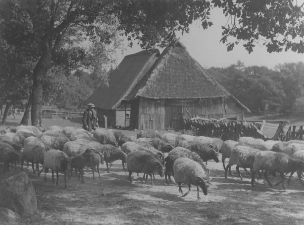 Historical photo: Shepherd with Heidschnucken flock   VNP Stiftung