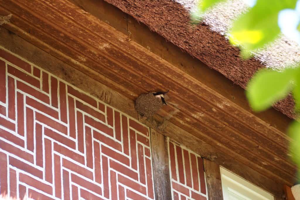 House martin nest   VNP Stiftung