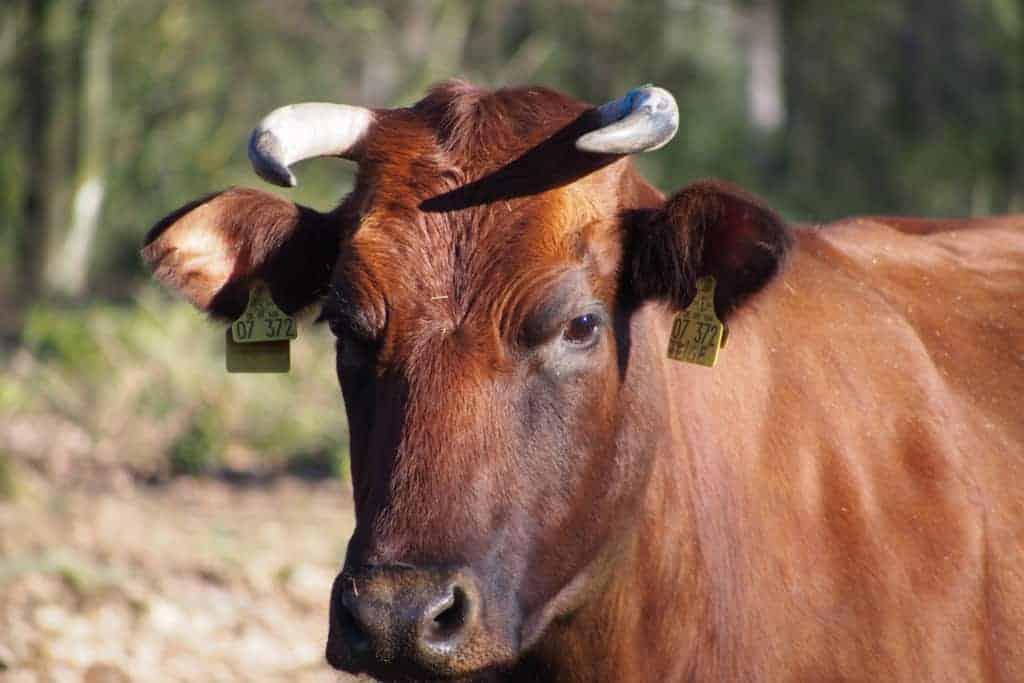 Cattle grazing   VNP Stiftung Naturschutzpark