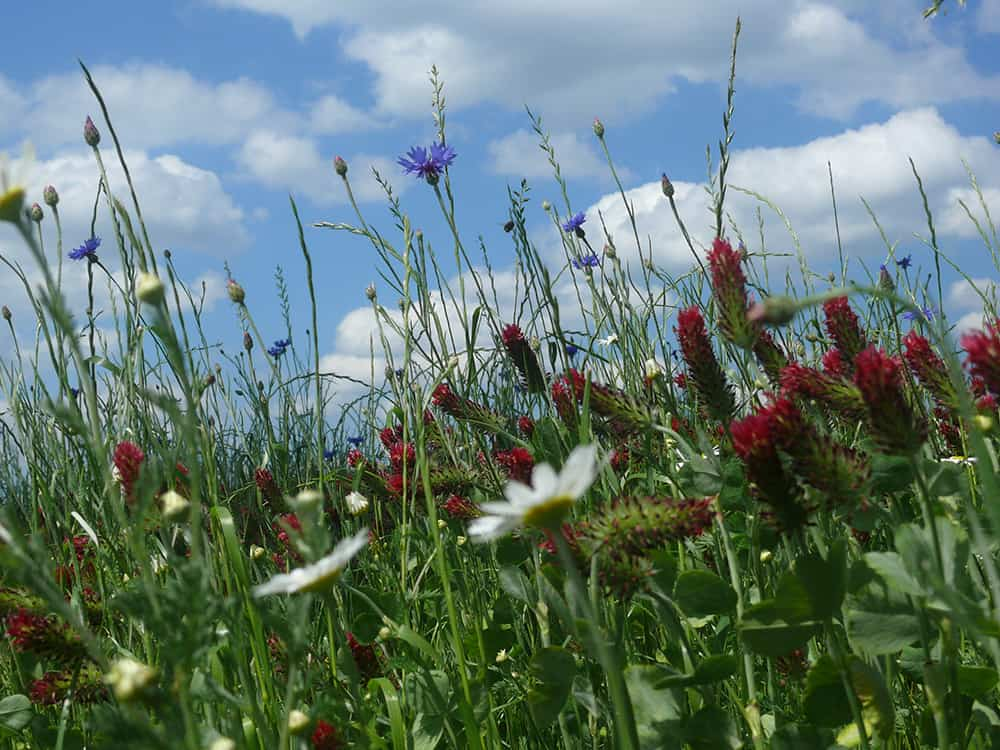 Clover grass, cornflower and incarnate clover