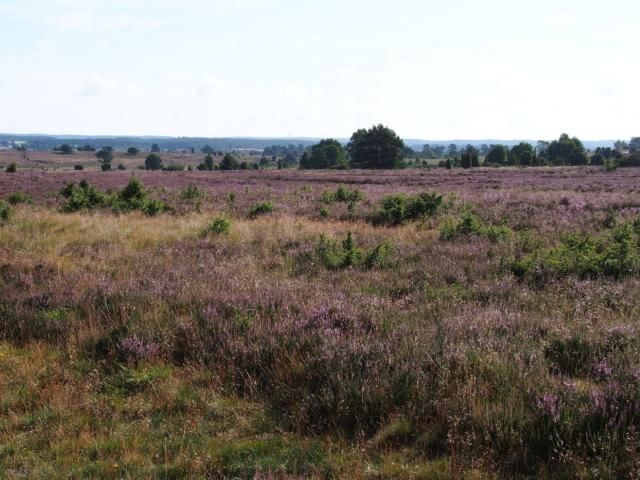 Heideblüte: Weiter Blick in die blühende Heidelandschaft | Foto: VNP Stiftung Naturschutzpark Lüneburger Heide