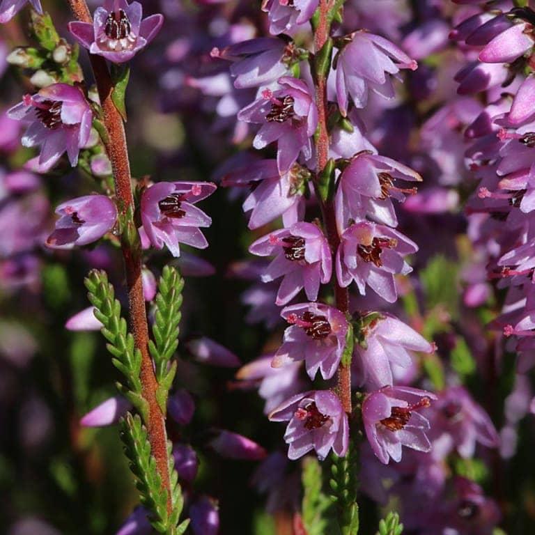 Broom heather (Calluna vulgaris) | VNP Stiftung