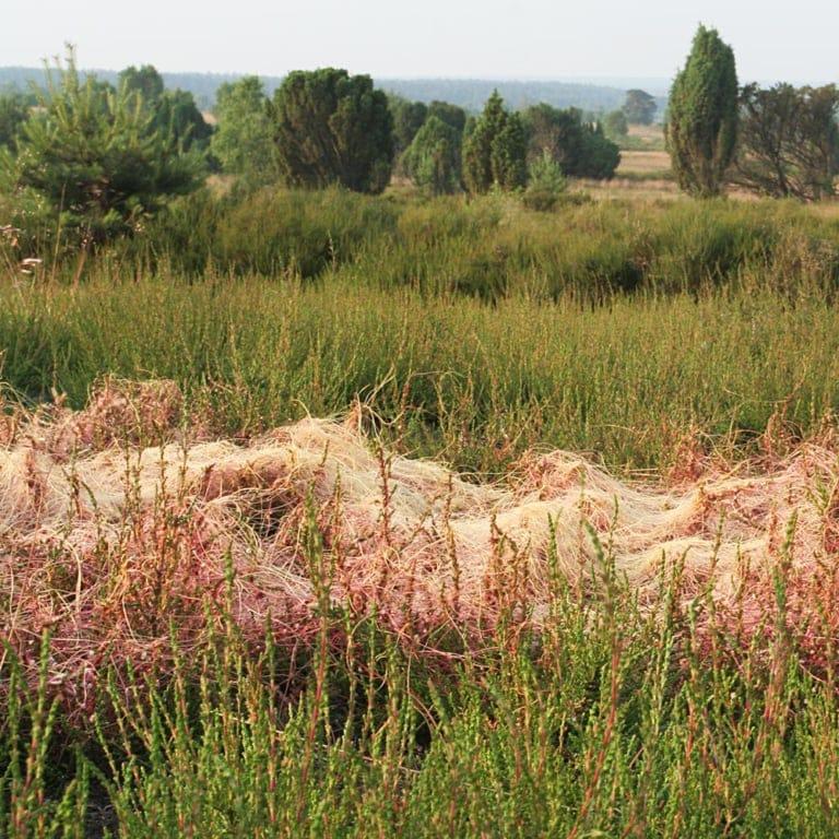 Dodder/hellweed (Cuscuta epithymum) lives parasitically on broom heather