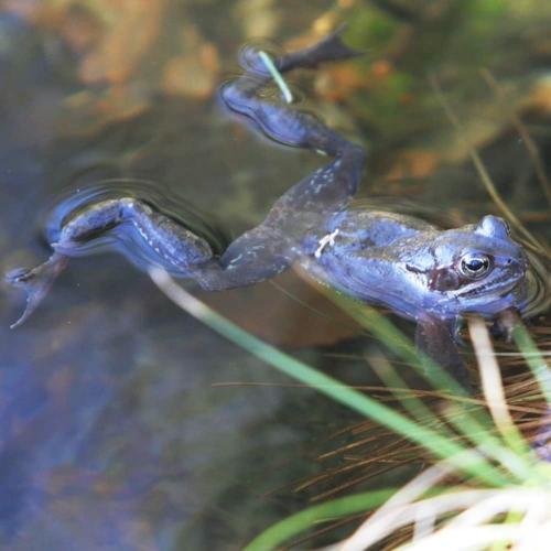 Blau gefärbtes Moorfrosch-Männchen (Rana arvalis)