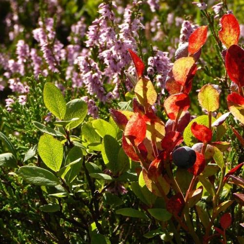 Blaubeere (Vaccinium myrtillus), auch Heidelbeere genannt