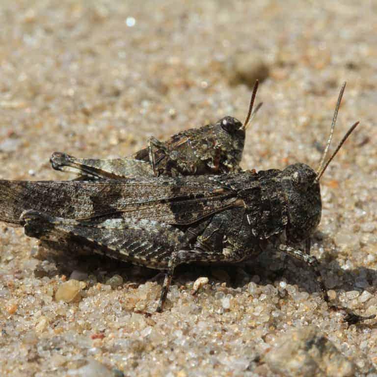Blue-winged grasshopper (Oedipoda caerulescens) | VNP Stiftung