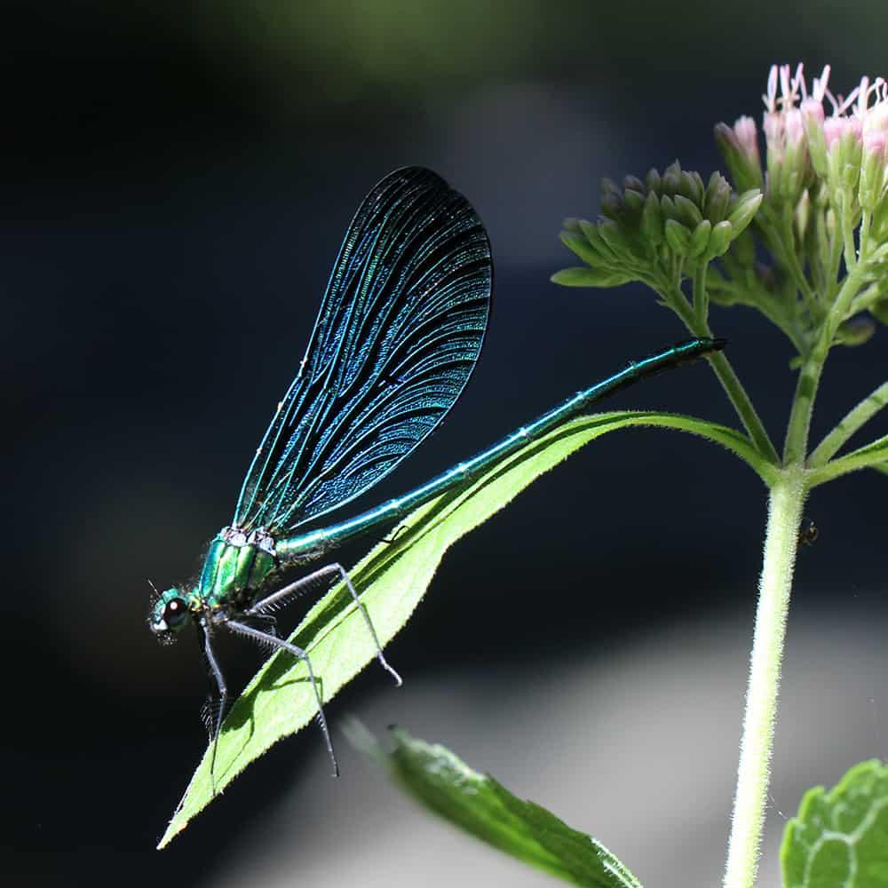 Beautiful demoiselle (Calopteryx virgo) | VNP Stiftung