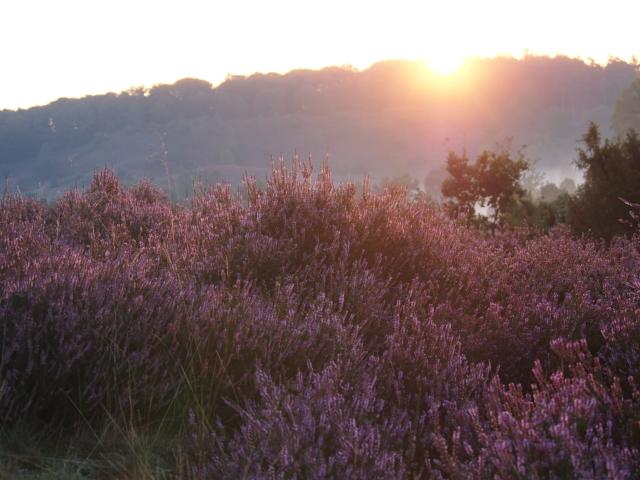Heideblüte: Blühende Heidefläche bei Sonnenuntergang | Foto: VNP Stiftung Naturschutzpark Lüneburger Heide