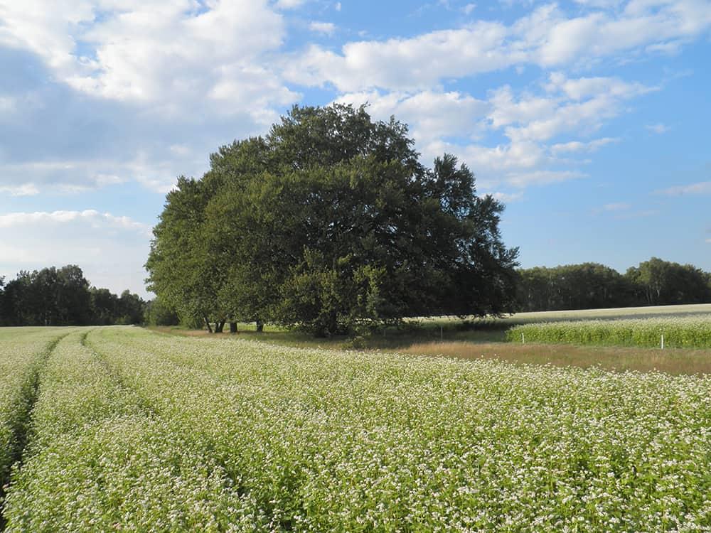 Buchweizenfeld in Blüte auf Hof Tütsberg