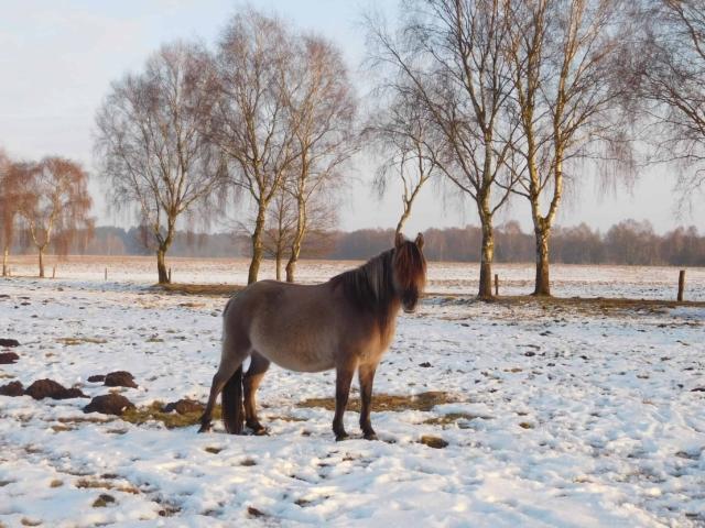 Landschaftspflegehof Hof Tütsberg: Dülmener Pferd auf Tütsberger Grasland im Winter | Foto: VNP Stiftung Naturschutzpark Lüneburger Heide