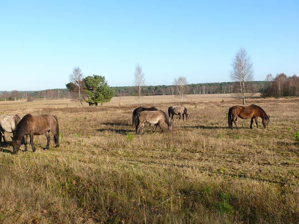 Pasturing by Dülmener horses at Hof Tütsberg   VNP Stiftung