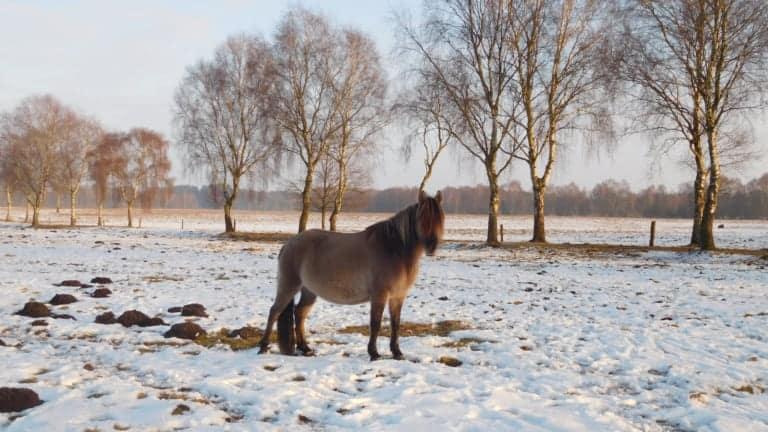 Dülmener Wildpferd auf Tütsberger Grünland   VNP Stiftung