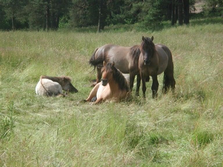 Dülmener Wildpferde im Sommer   VNP Stiftung