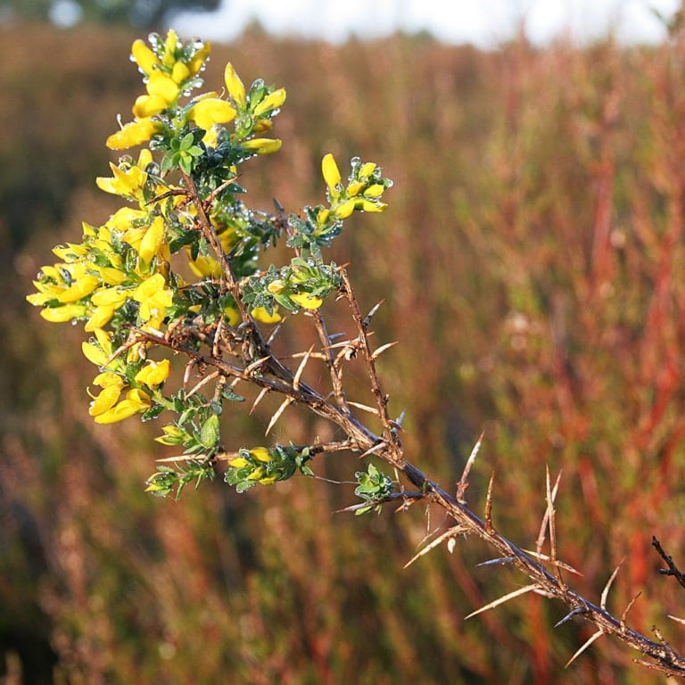 Petty whin (Genista anglica) | VNP Stiftung