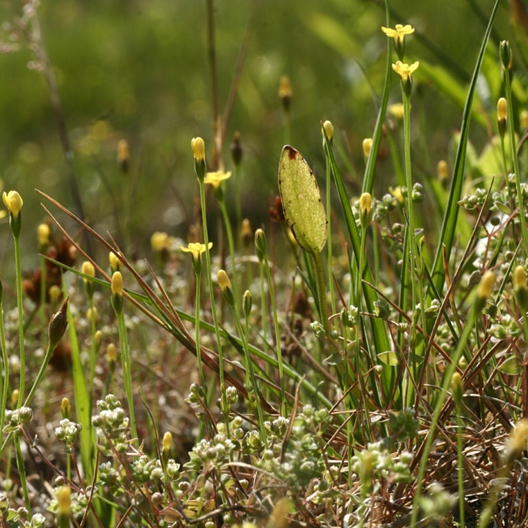 Yellow centaury/Slender cicendia (Cicendia filiformis) | VNP Stiftung
