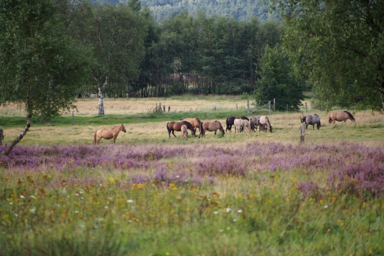 Dülmener Wildpferde auf der Weide   VNP Stiftung