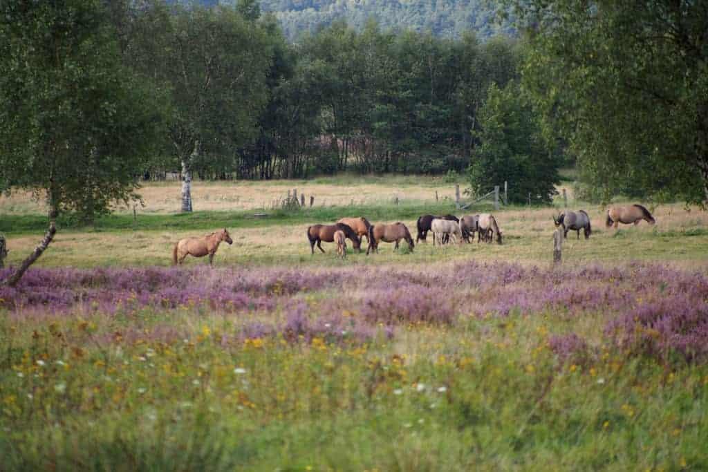 Grasende Dülmener Wildpferde   VNP Stiftung