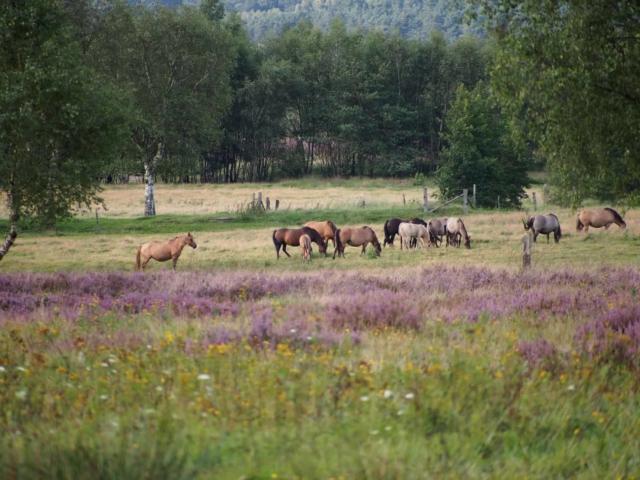 Dülmener horses in the pasture   VNP Stiftung