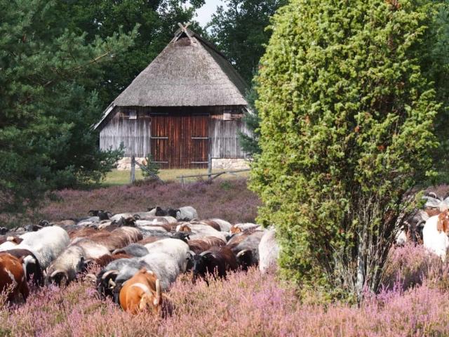 Heidschnuckenherde in der blühenden Heide | VNP Stiftung Naturschutzpark