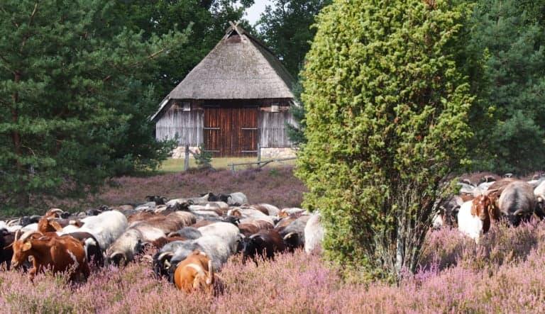 Heidschnuckenherde in der blühenden Heide   VNP Stiftung Naturschutzpark