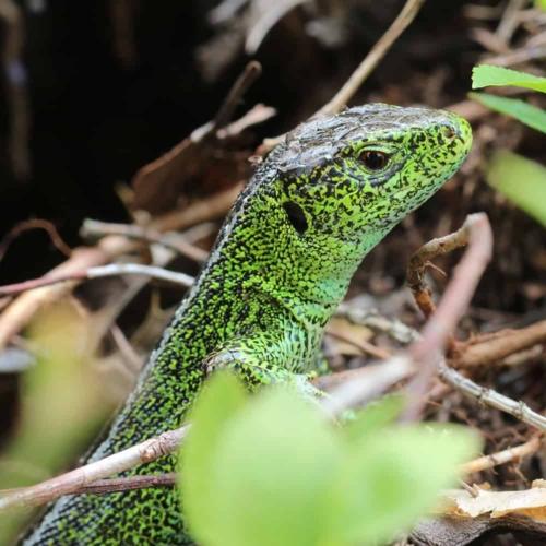 Grün gefärbtes Männchen der Zauneidechse (Lacerta agilis)