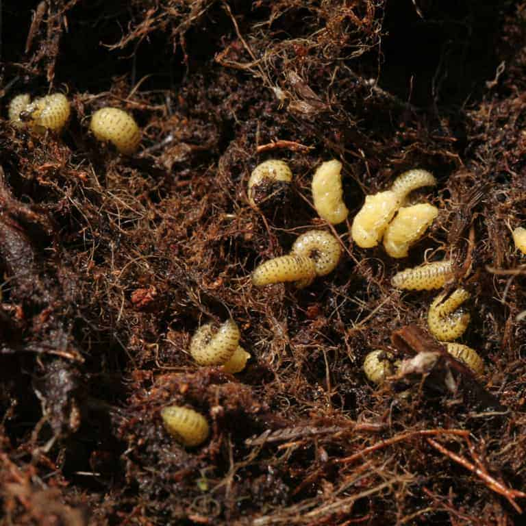 Larva of the heather beetle (Lochmaea suturalis) | VNP Stiftung