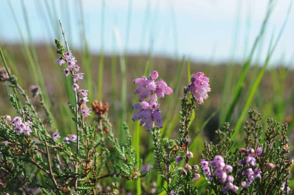 Heideblüte mit Besenheide (Calluna vulgaris) links und Glockenheite (Erica tetralix) rechts | VNP Stiftung