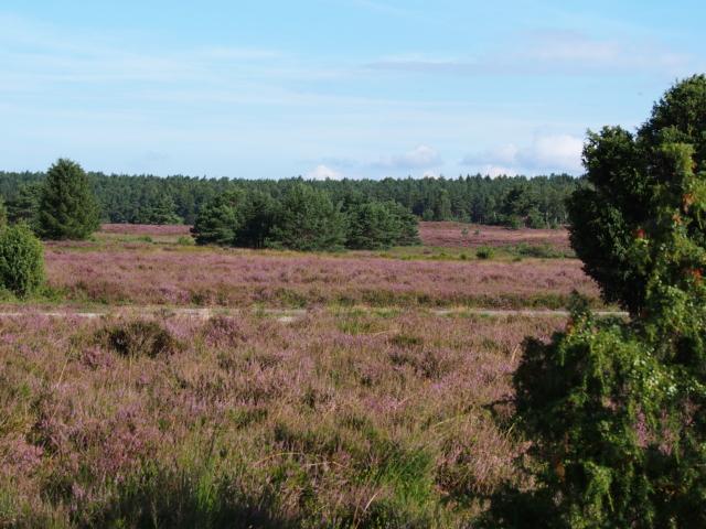Heideblüte im Naturschutzgebiet Lüneburger Heide | Foto: VNP Stiftung Naturschutzpark Lüneburger Heide