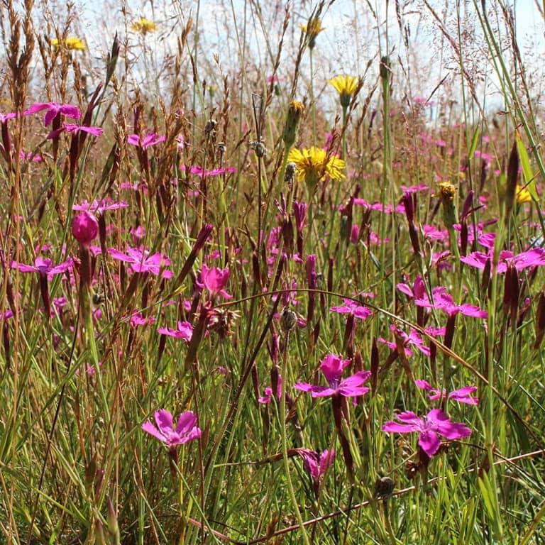 Maiden pink (Dianthus deltoides) | VNP Stiftung
