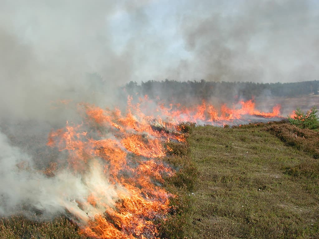 Heath burning: The flames move over the area in a controlled manner.   VNP Stiftung