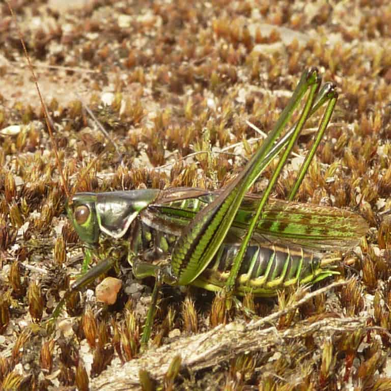 Bush cricket Gampsocleis glabra | VNP Stiftung
