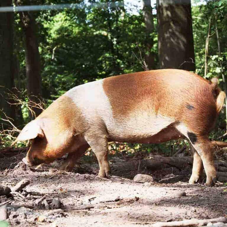 Heidländer Produkte vom Rotbunten Husumer Hausschwein | VNP Stifung