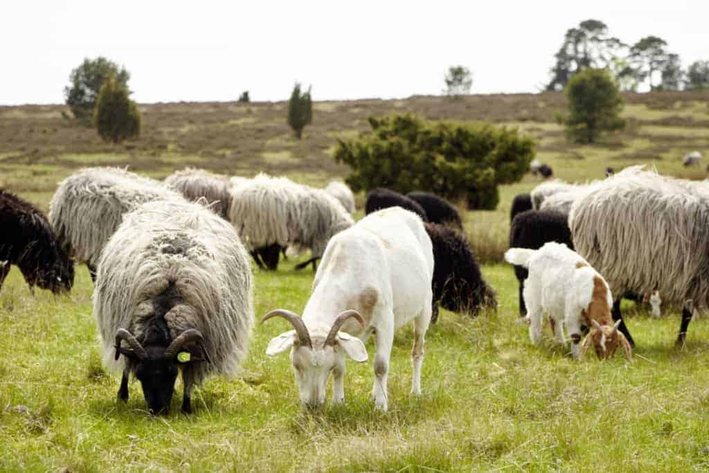 In der Tütsberger Herde weiden Heidschnucken und Ziegen zusammen | Foto: Christian Burmester