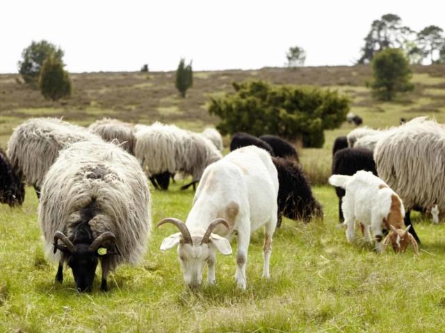 Heidschnucken und Ziegen grasen einträchtig nebeneinander | Foto: Christian Burmester
