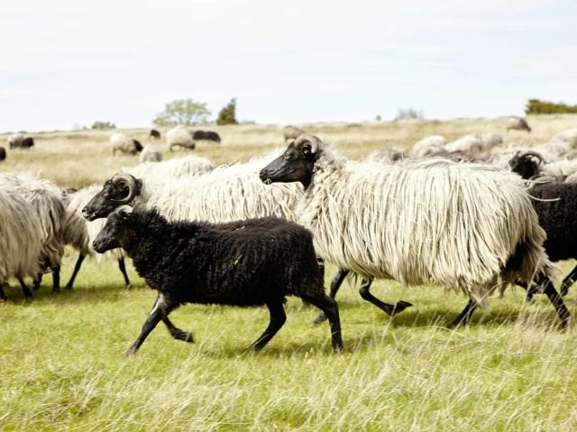 Heidschnucken flock   photo: Christian Burmester