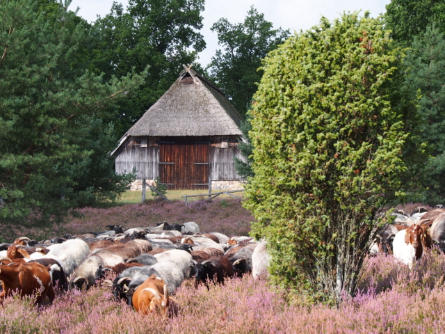 Heidschnuckenherde in der blühenden Heide vor Schafstall | Foto: VNP Stiftung Naturschutzpark Lüneburger Heide