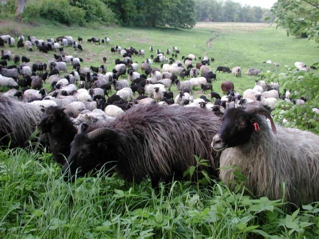 Heidschnucken flock in Wilsede   VNP Stiftung