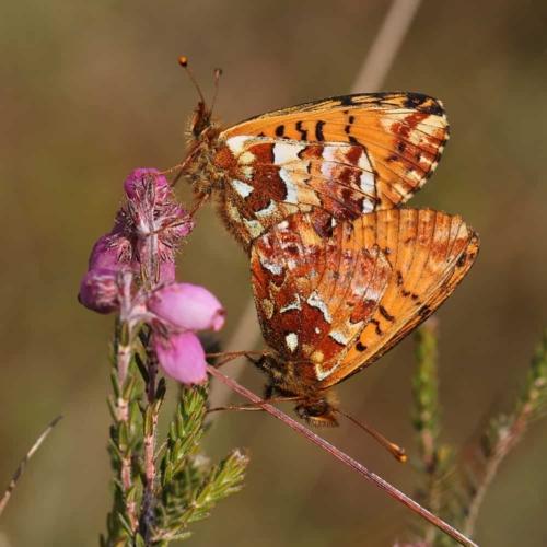 Hochmoor-Perlmutterfalter (Boloria aquilonaris)